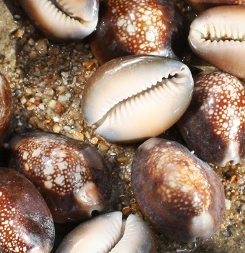 Use a clean Snakehead Cowrie shell for the body.