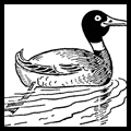 How to Draw Mallard Ducks
