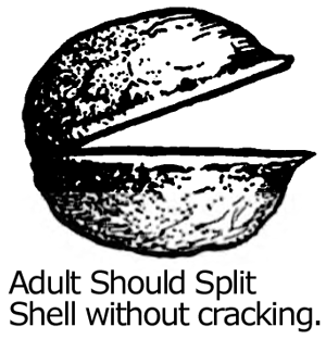 Adult should split shell without cracking.